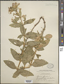 view Saponaria officinalis L. digital asset number 1