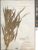 view Streptostachys asperifolia Desv. digital asset number 1