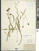 view Symphyotrichum occidentalis subsp. intermedius digital asset number 1