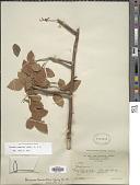 view Bursera tomentosa (Jacq.) Triana & Planch. digital asset number 1