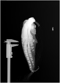 view Stenella clymene (Gray, 1850) digital asset number 1
