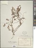 view Gaultheria hispidula (L.) Muhl. ex Bigelow digital asset number 1