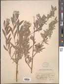 view Salix hindsiana Benth. digital asset number 1