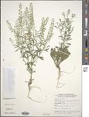 view Lepidium virginicum L. digital asset number 1