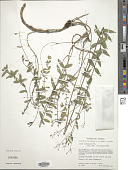 view Linum mexicanum Kunth digital asset number 1