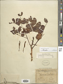 view Stryphnodendron coriaceum digital asset number 1