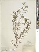 view Dalea foliolosa (Aiton) Barneby digital asset number 1