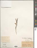 view Ornithogalum oligophyllum E.D. Clarke digital asset number 1