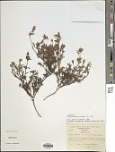 view Stylosanthes viscosa Sw. digital asset number 1