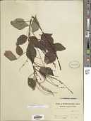 view Hylodesmum laxum (DC.) H. Ohashi & R.R. Mill digital asset number 1