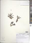 view Cotyledon paniculata L. f. digital asset number 1