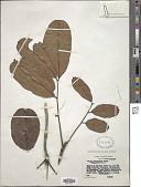 view Khaya euryphylla Harms digital asset number 1