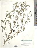 view Ambrosia artemisiifolia var. elatior (L.) Descourt. digital asset number 1