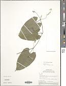 view Helmontia sp. digital asset number 1