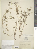 view Oxalis florida subsp. prostrata (Haw.) Lourteig x O. stricta L. digital asset number 1