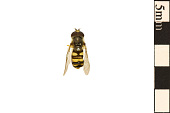 view American Hoverfly, Syrphid Fly digital asset number 1