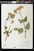 view Aristeguietia lamiifolia (H.B.K.) R.M. King & H. Rob. digital asset number 1