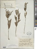 view Eriosema crinitum (Kunth) G. Don digital asset number 1