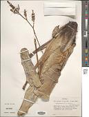 view Brocchinia reducta Baker digital asset number 1