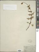view Salvia arizonica A. Gray digital asset number 1
