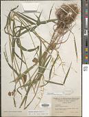 view Elymus hystrix L. digital asset number 1