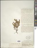 view Gaultheria pumila var. leucocarpa (DC.) D.J. Middleton digital asset number 1