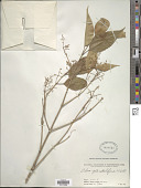 view Olea paniculata R. Br. digital asset number 1