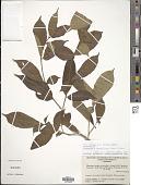 view Stemmadenia grandiflora (Jacq.) Miers digital asset number 1