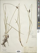 view Carex scopulorum Holm digital asset number 1