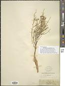 view Thymelaea microphylla Meisn. digital asset number 1