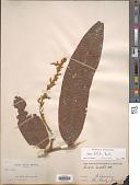 view Hirtella bullata Benth. digital asset number 1