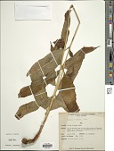view Tectaria crenata Cav. digital asset number 1