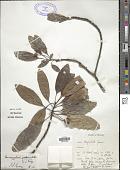 view Acronychia pedunculata (L.) Miq. digital asset number 1
