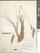 view Poa alopecurus subsp. fuegiana (Hook. f.) D.M. Moore & Dogg digital asset number 1