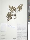 view Lindsaea lancea var. falcata (Dryand.) Rosenst. digital asset number 1