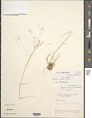 view Agrostis scabra Willd. digital asset number 1