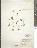 view Moneses uniflora (L.) A. Gray digital asset number 1