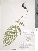 view Cystopteris fragilis var. tenuifolia (Clute) M. Broun digital asset number 1