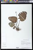 view Rhoogeton cyclophyllus Leeuwenb. digital asset number 1