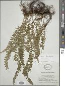 view Lindsaea lucida Blume digital asset number 1