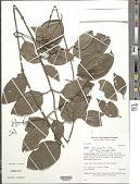 view Mikania gleasonii B.L. Rob. digital asset number 1