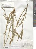 view Nylandtia spinosa (L.) Dumort. digital asset number 1