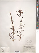 view Castilleja linariifolia Benth. digital asset number 1