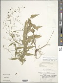 view Campanula divaricata Michx. digital asset number 1