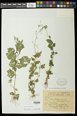 view Lobelia xalapensis Kunth digital asset number 1