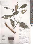 view Piper guineense Schumach. & Thonn. digital asset number 1