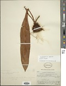view Elaphoglossum sporadolepis (Kunze ex Kuhn) T. Moore ex C. Chr. digital asset number 1