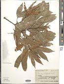 view Inga marginata Willd. digital asset number 1