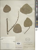 view Erythrina velutina Willd. digital asset number 1