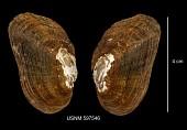 view Alasmidonta varicosa digital asset number 1